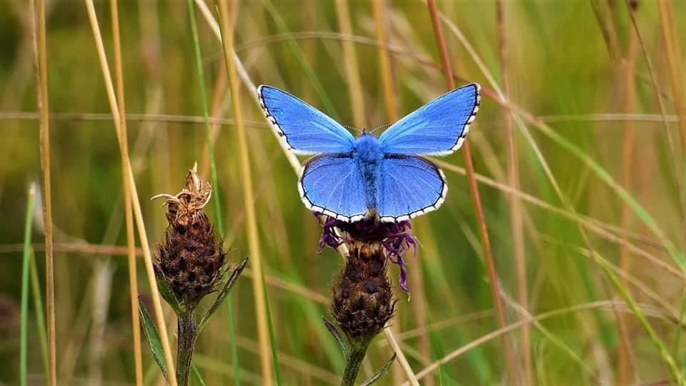 """Adonis Blue Butterfly at Whitehawk Hill Nature Reserve"""