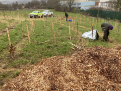 Tree planting at Carden Hill.